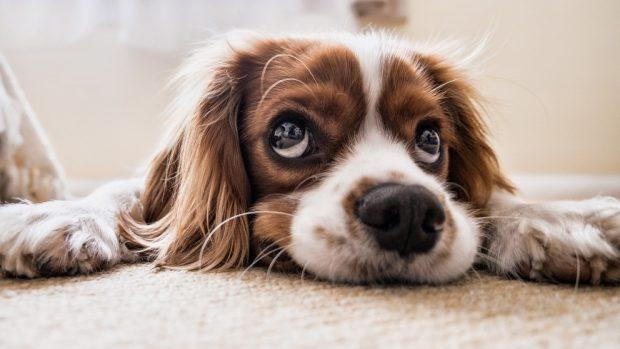 La ansiedad sexual en perro