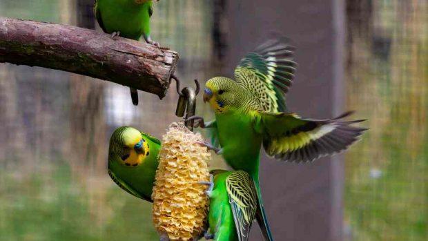 Pájaros exóticos como mascotas