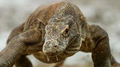 Curiosidades del del Dragón de Komodo