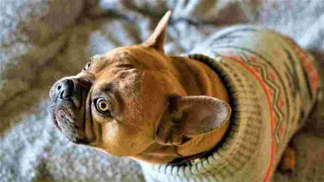 Perro con prenda de ropa