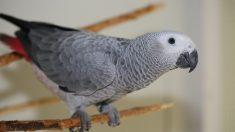 Ejemplos de Aves parlantes