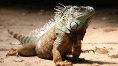 ¿Qué enfermedades puede tener la iguana en casa?