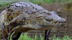 Cómo es el cocodrilo del Nilo