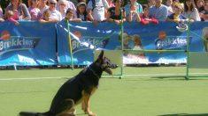 Obtención el pedigrí oficial en tu perro