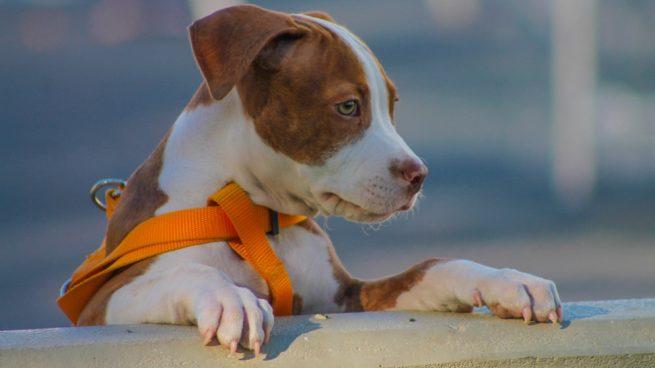 Hipertensión en perros