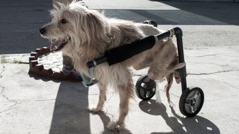 Tips para seleccionar un carrito para tu perro discapacitado