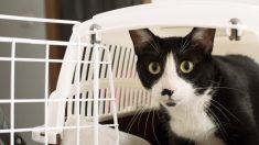 Tensión alta en gatos