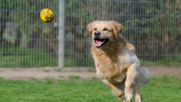 Perro corre a por pelota