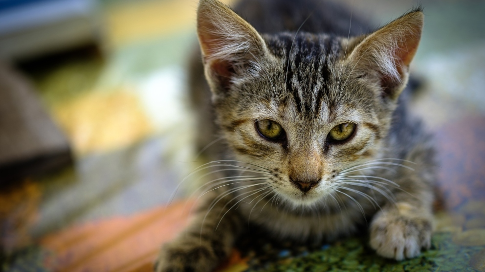 ¿Cómo puedes ayudar a tu gato triste?