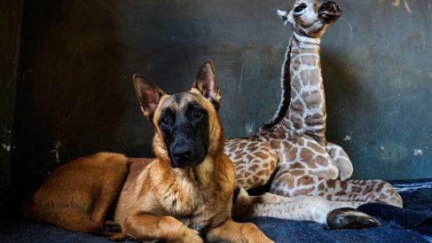 Facebook: Muere Jazz la jirafa abandonada que cuidaba un perro