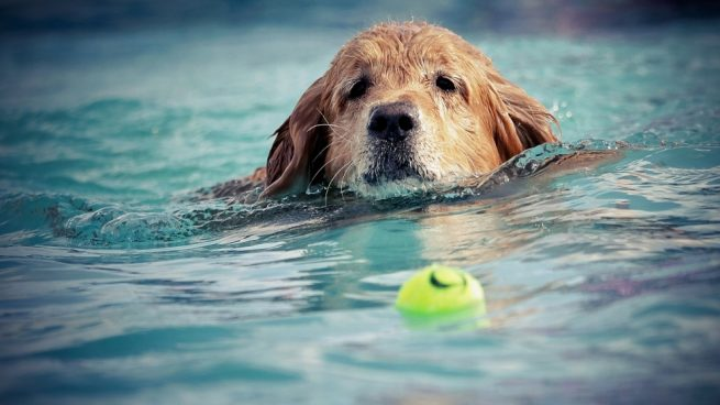 Perro atrapa pelota en piscina
