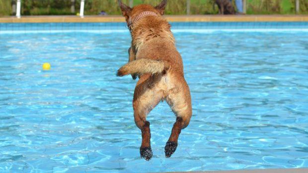 Perro salta en piscina