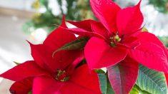 Las flores de pascua son las plantas más conocidas en estas fechas