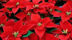 Las plantas navideñas son perfectas para decorar en estas fiestas