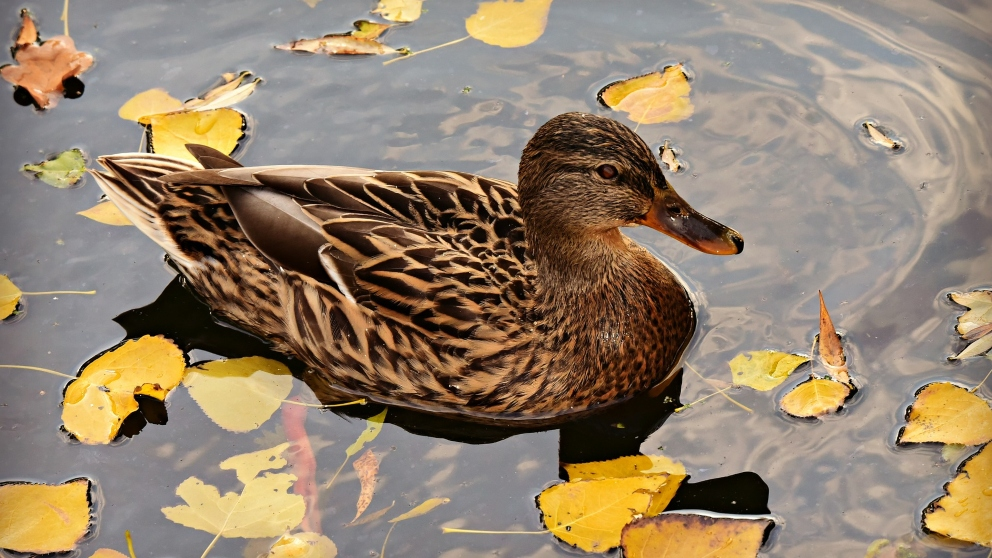 Tips para fabricar un estanque para patos en casa