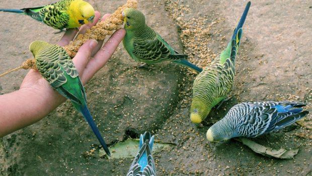 Varios periquitos juegan