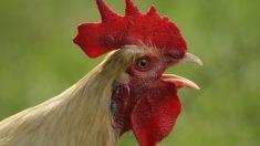 Tips para evitar que cante tu gallo