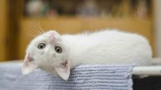 Curiosidades científicas que hay que saber de los gatos