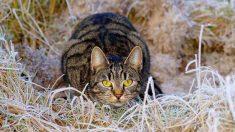 Proceso de tu gato para cazar