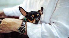 Facebook: Un criadero ilegal de perros mutilaba chihuahuas