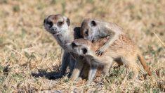 ¿Quiénes son los suricatos?