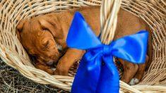 Consecuencias de regalar una mascota para Navidad