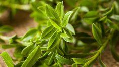 Hay plantas que son auténticos afrodisíacos naturales