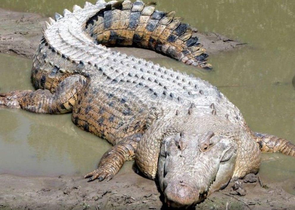 Cosas que no sabes sobre los cocodrilos