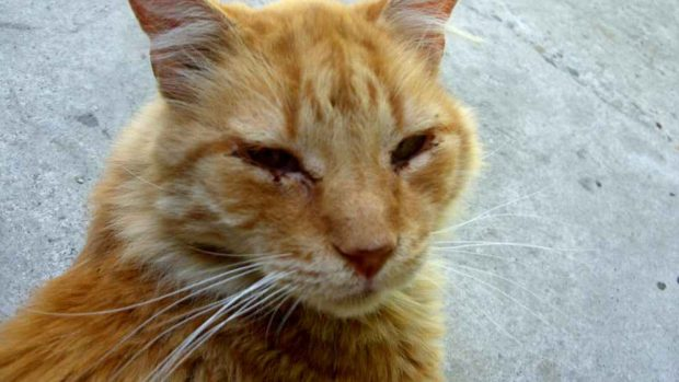 Enfermedades gatos ancianos