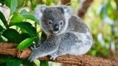 6 curiosidades de los koalas que te gustará descubrir