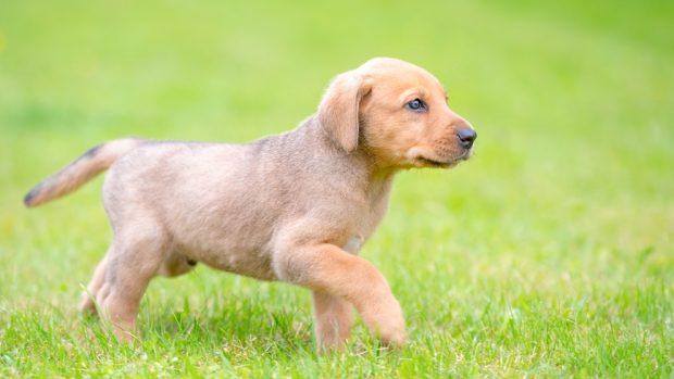 Perros: el broholmer