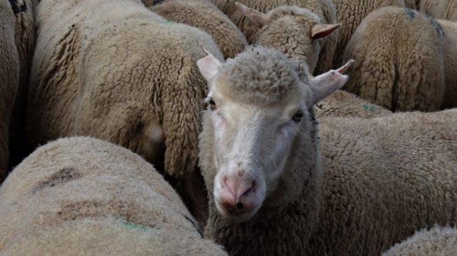 La oveja de Roslin