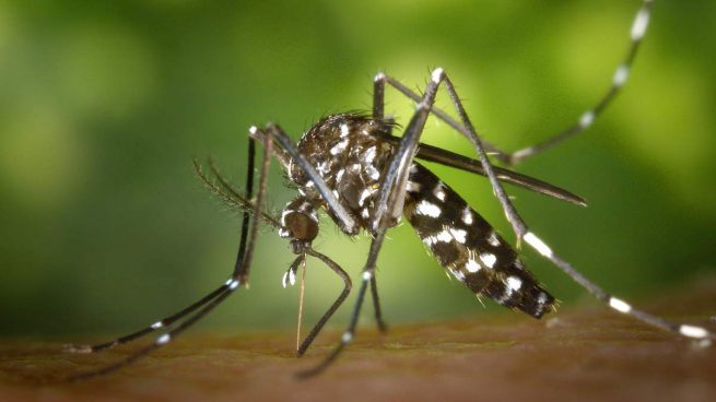 Tipos de mosquitos, el tigre