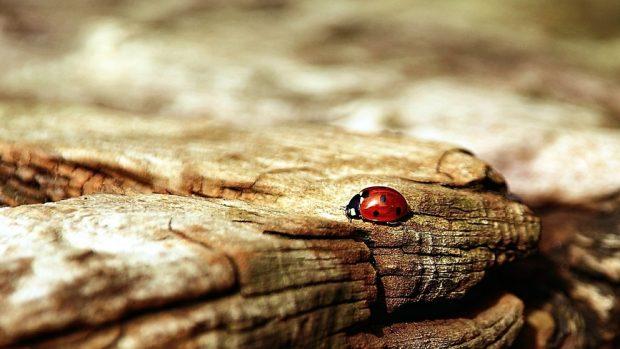 Mariquitas, tipos de escarabajos