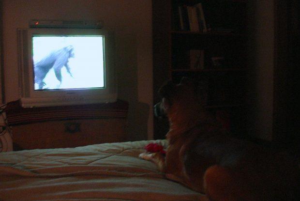 Perro mirando televisión