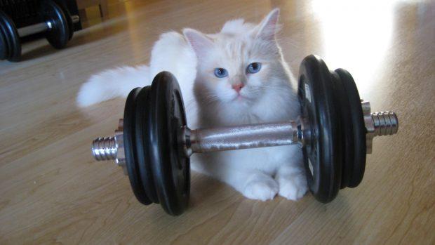Gato en forma con pesas