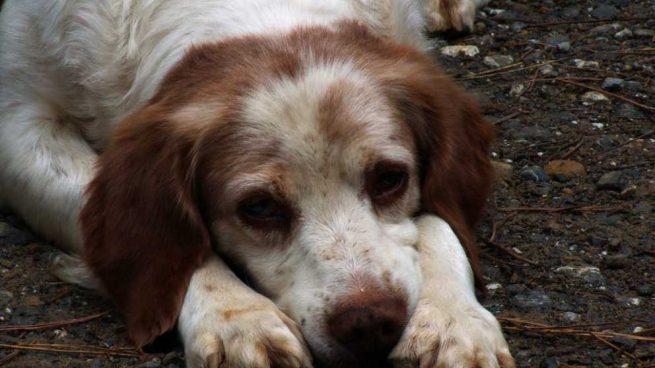 Bloqueo intestinal en perros