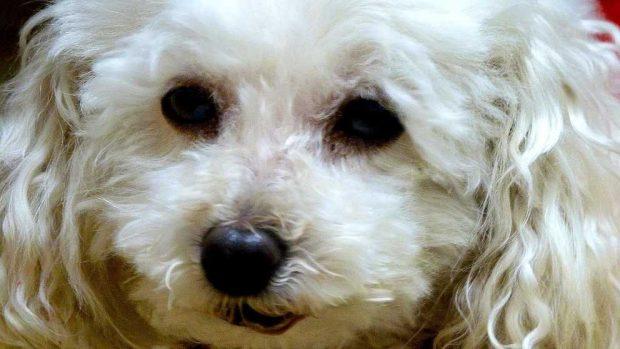 Causas del bloqueo intestinal en perros