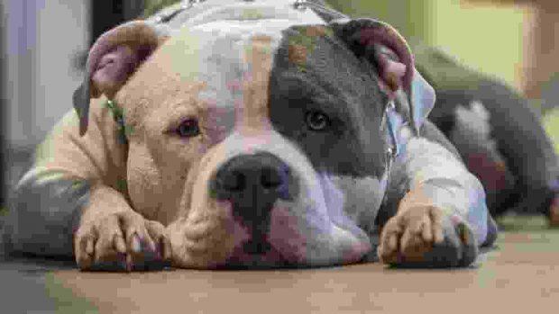 La hemofilia en perros