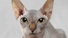 ¿Se considera al gato un animal exótico?