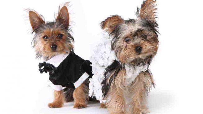 Matrimonio entre perros