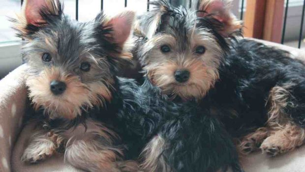 Razas de perros: el Yorkshire terrier