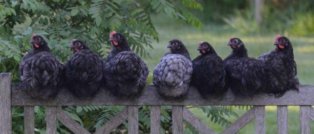Tipos de gallinas