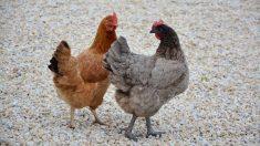 ¿Cuántos tipos de gallinas existen?