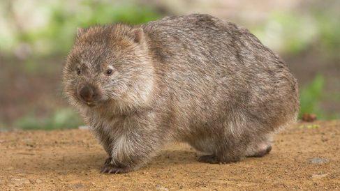 Qué es un wombat