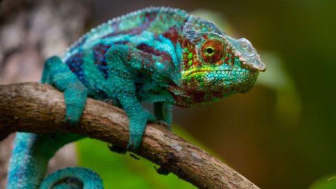 ¿Por qué los camaleones cambian de color