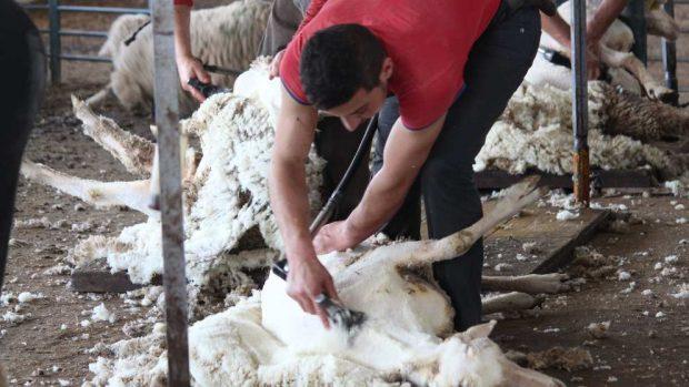 Trucos para esquilar ovejas