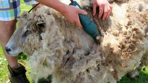 Lo que hay que saber sobre el buen esquilado de ovejas