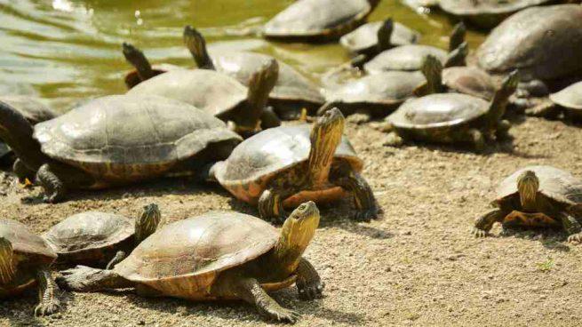 El caparazón de la tortuga