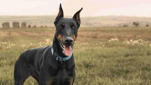 El Síndrome de Wobbler en perros